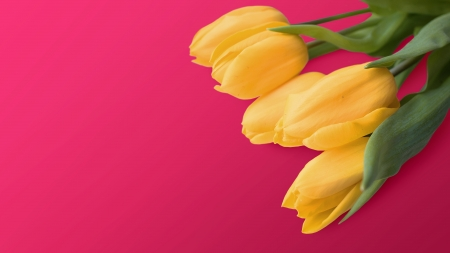 Tulips - pretty, photography, background, flower, yellow, nature, tulips, pink