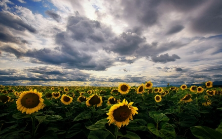 Sunflowers - sky, clouds, sunflowers, field, nature