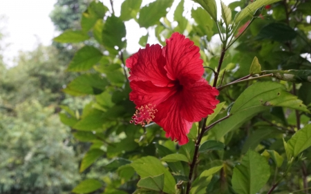 Red Hibiscus - red, flower, nature, hibiscus