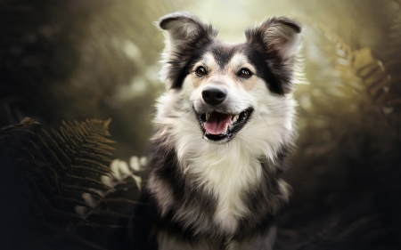 Smiling Dog - smile, Border Collie, animal, dog