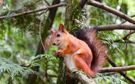 Squirrel - nature, tree, squirrel, animal