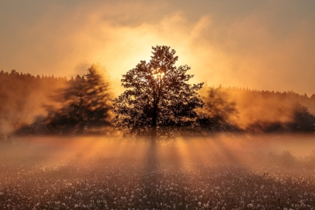 Golden Sunrise - Trees, Fog, Country, Sunrise, Daisies, Glowing, Nature, Golden Hue, Field, Horizon
