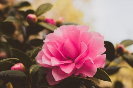 Camellia - flowers, Pink, buds, camellia, nature