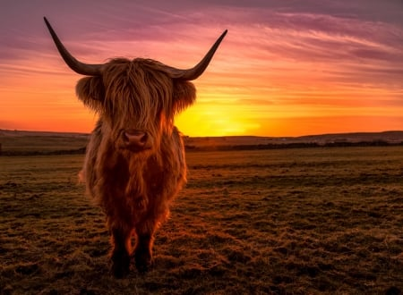 Sunset Cow - colors, clouds, sky, landscape, horns