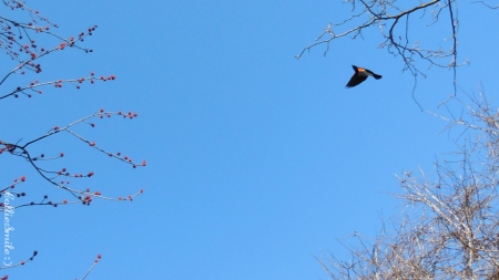 Flying Red Winged Blackbird - red winged blackbird, blue sky, bird, flight, flying