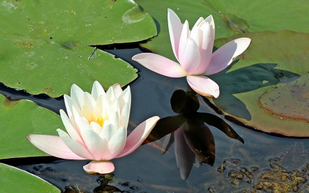 Waterlilies - Latvia, flowers, waterlilies, water, pink