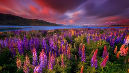 Lupines Lake - lake, new zealand, cool, flowers, fun, nature, Lupines Lake