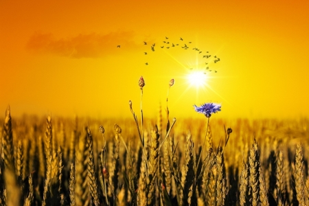 Flower in a Cornfield - sun, cornfield, flower, birds, yellow, field