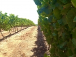 Vineyard in Northern Israel