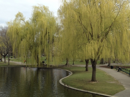 Weeping Willows in Boston Public Gardens - pond, Willow tree, Grass, garden, Spring, park, Boston, Weeping willow, Green