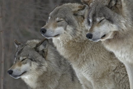 Beautiful Wolves - Forest, Three, Wolves, Pack, Gray, Eyes