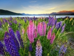 Field of lupine flowers