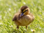 Adorable Duckling