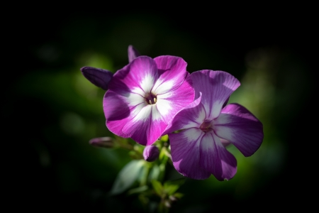 Phlox - Closeup, Bokeh, Phlox, Pink color
