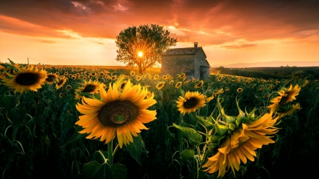 Summer Sunset - sunflowers, field, hut, tree, flowers, clouds, sky