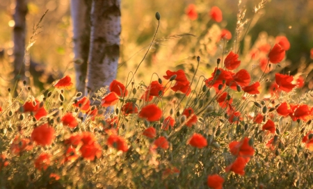 Evening Poppies - poppies, wood, flowers, evening, nature, trees, field