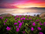 Ice plant at sunset