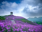 Purple Field of Flowers in China