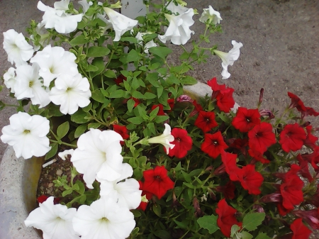 Red white flowers - colors, flowers, red, white