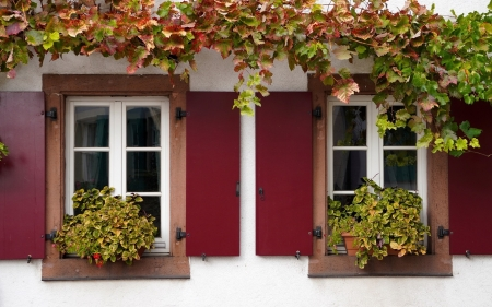 Windows - vines, flowers, windows, house, shutters