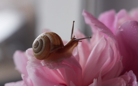 Snail on Flower - pink, snail, animal, macro, spiral, flower