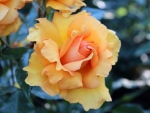 South Africa Rose