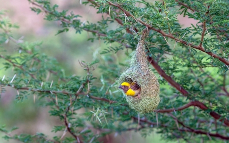 Baya Weaver - branches, nest, bird, animal