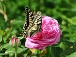 Butterfly on Rose