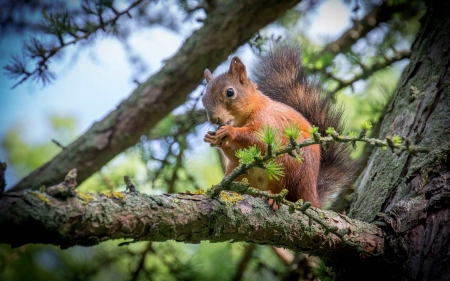 Squirrel - Latvia, tree, squirrel, animal
