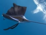 Sailfish