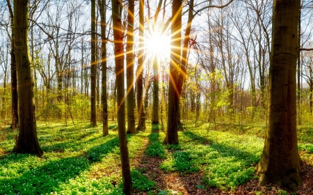 Sun Rays Through The Forest - sun, nature, rays, forest, trunk, trees