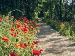 Poppy Path in Park