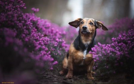 Dachshund in Flowers - flowers, purple, Dachshund, dog, animal