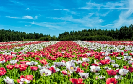 A fiels of flowers - nature, field, pretty, flowers, colors, tulip