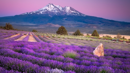 Lavender Field - lavender, horizon, nature, mountain, flowers, field