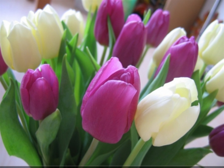 Tulips - purple, flowers, color, nature, tulips, upright, white, pretty, cerise, pink