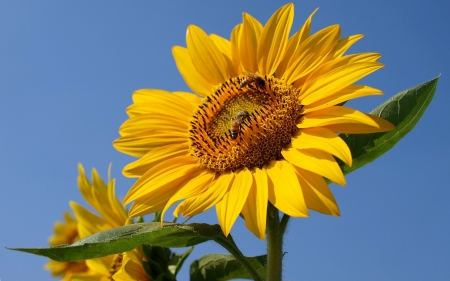 Sunflower with Bees - yellow, flower, sunflower, bees
