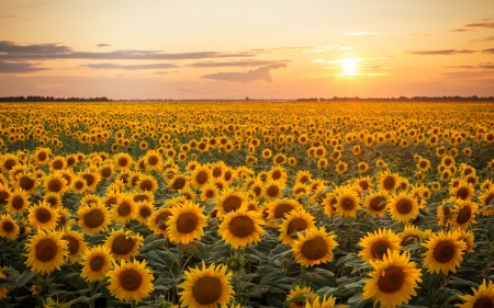 Sunflower Field at Sunset - yellow, sunset, sunflowers, field