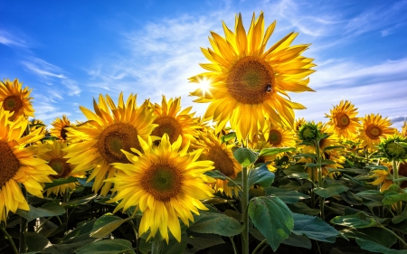 Sunflowers and Sunbeams