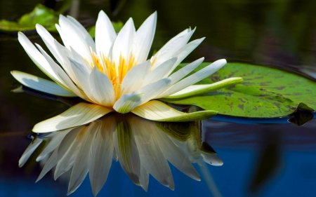 Water Lily - pond, close up, water, leaves, plant, flower, nature, reflection