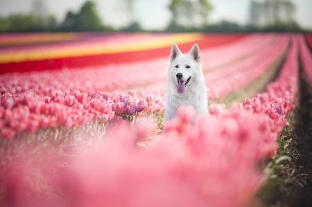 Swiss Shepherd Surrounded by Tulips - Purple, red, Yellow, Rows, Pet, Beautiful, Field, Nature, Canine, Tulips, View, Trees, Pink, Dog, Swiss Shepherd