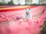 Swiss Shepherd Surrounded by Tulips