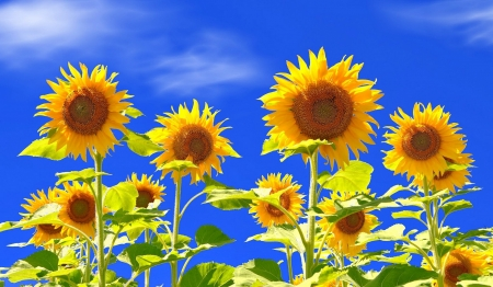 Yellow sunflowers - sunflowers, sky, yellow, flowers, beautiful, field