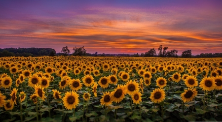 Sunflowers in the dawn - dusk, summer, nature, landscape, scene, field, dawn, sunflowers, wallpaper, flowers, morning