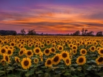 Sunflowers in the dawn