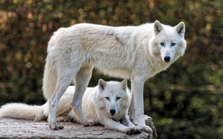 White Wolves - white, wolves, dog family, animals