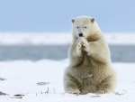 Polar Bear Praying That Global Warming will Stop