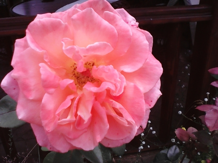Rose - pretty, flowers, pink, roses, garden