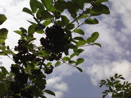 Berries - nature, sky, berries, trees