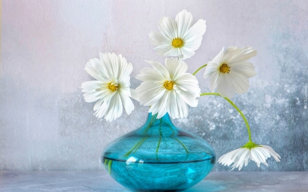 white cosmos - cosmos, bouquet, still life, flowers, beauty, blue